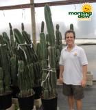 cereus peruvianus cactus