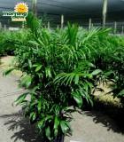 chamaedorea fl hybrid palm