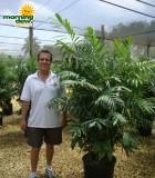 chamaedorea palm fl hybrid