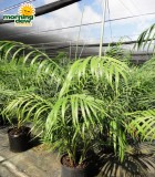 chamaedorea hooperiana king maya palm