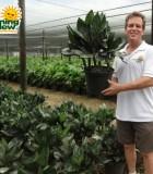 chamaedorea metallica palm
