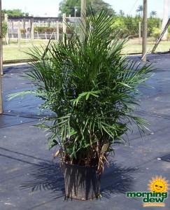 chamaedorea seifrizii palm