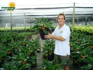 chlorophytum mandarin