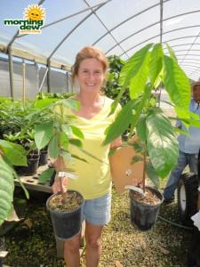 chocolate theobroma cacao plant tree