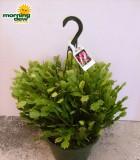 christmas cactus Hanging Basket
