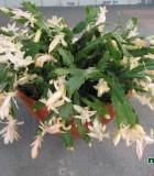 christmas cactus bowl
