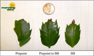 christmas cactus bud stages