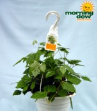 cissus rhombifolia Hanging Basket