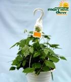 cissus rhombofolia