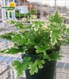 citrosa mosquito plant