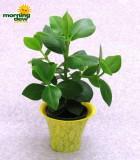 clusia signature plant