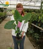 colocasia black stem