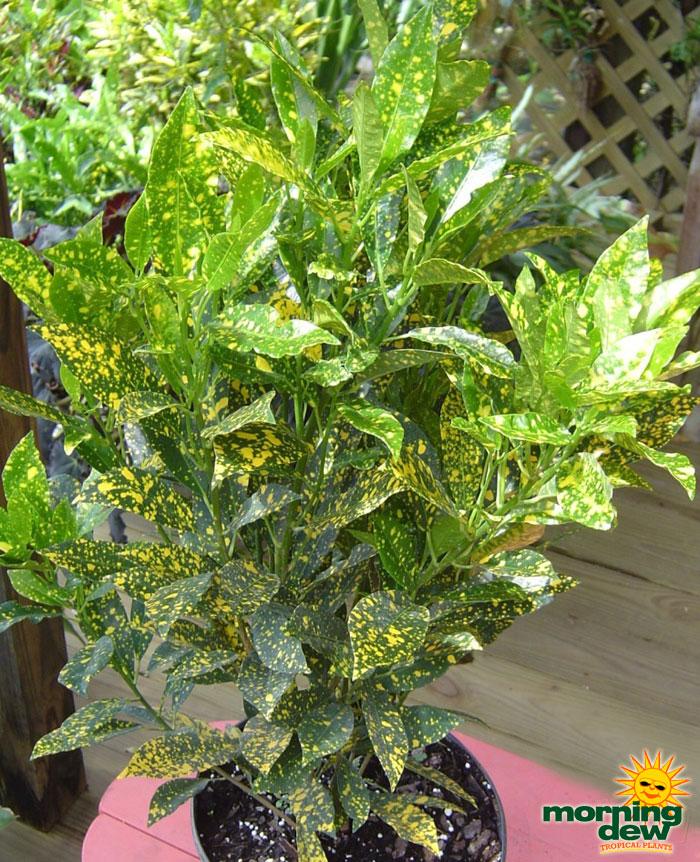 Croton morning dew tropical plants for Croton plant