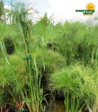 cyperus papyrus giant egyptian littletut grass