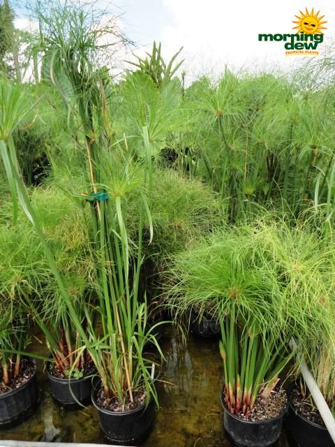 Cyperus Morning Dew Tropical Plants