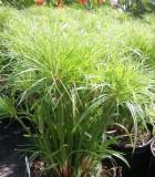 cyperus papyrus little tut grass