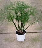 cyperus papyrus little tut