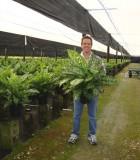 dieffenbachia tropic rain