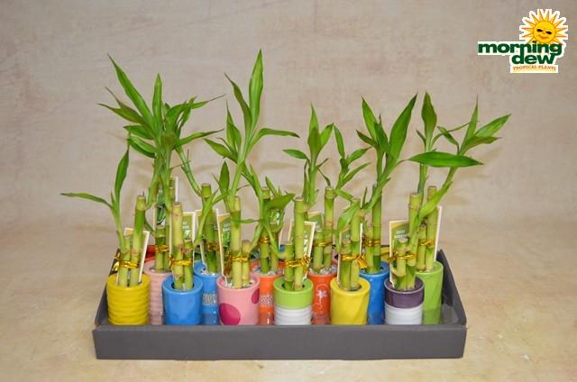Dish Garden - Morning Dew Tropical Plants