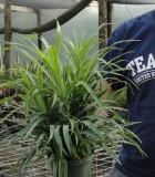 dracaena anita bush