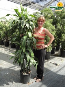 dracaena art cane