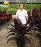 cordyline black magic