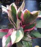 cordyline bolero tricolor