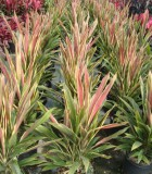 cordyline brian diamond