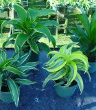 dracaena dragon assorted
