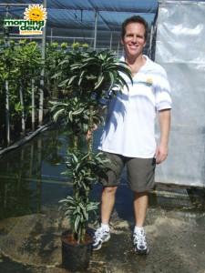 dracaena jade jewel cane