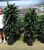 dracaena lind cane towers