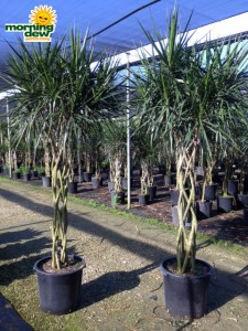 dracaena marginata braid open weave