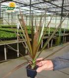 dracaena marginata magenta