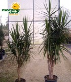 dracaena marginata tree form