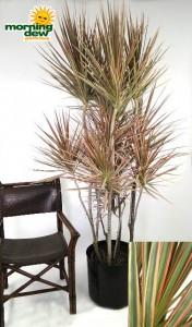 dracaena marginata tricolor bicolor