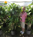dracaena mass branched