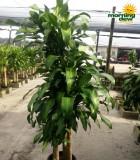 dracaena mass cane