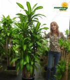 dracaena mass showpiece