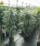 dracaena warneckii cane