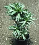dracaena warneckii compacta cane