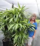 dracaena warneckii gold star cane