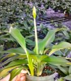 eucharis amazon lily