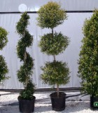 eugenia topiaries