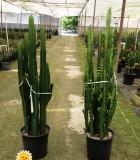 euphorbia acruensis trigona