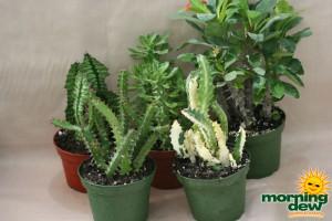 euphorbia assorted cactus