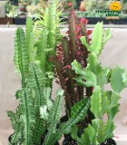 euphorbia assorted cactus