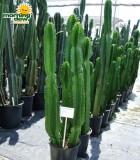 Euphorbia Ingens 14 in