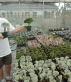 euphorbia lactea crested cactus