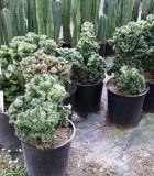 euphorbia lactea cristata cactus