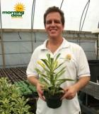 euphorbia nerifolia variegata